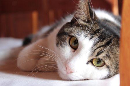 猫 糖尿病